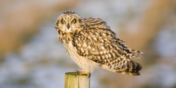 barn owlk (185)