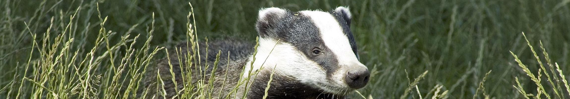 7094763 – badger