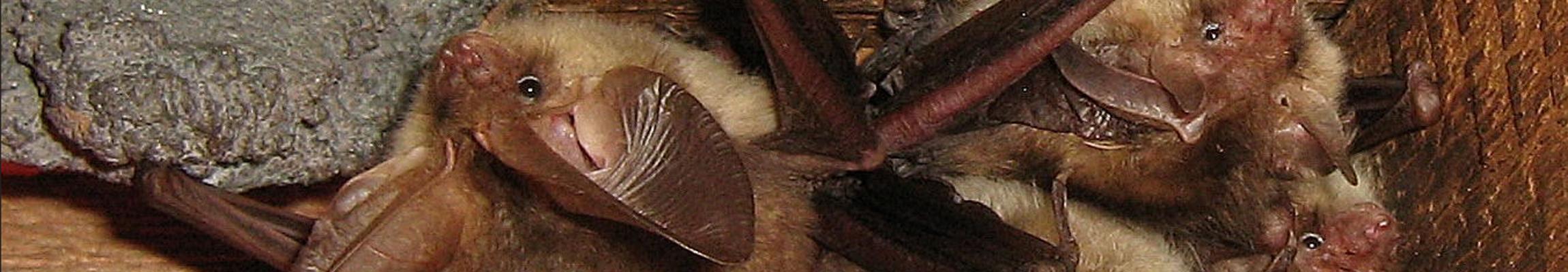 bats-hanging