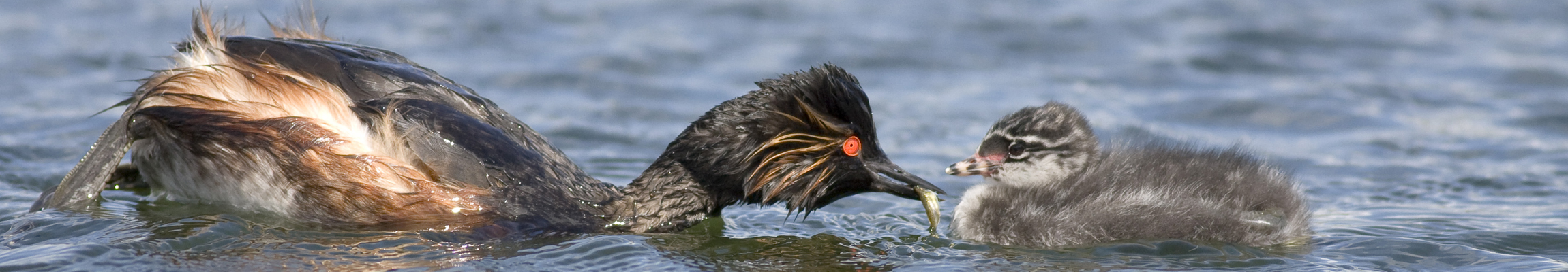 black-necked grebe99