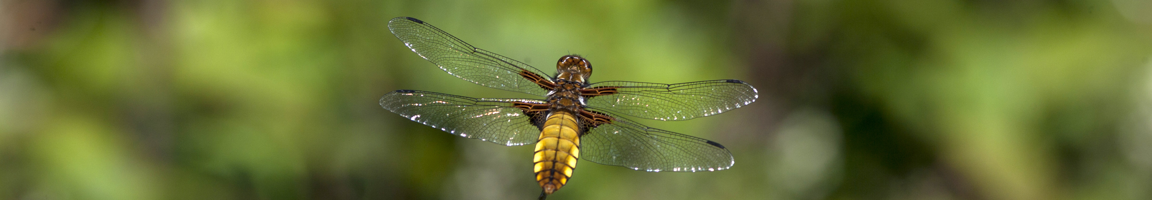 broad-bodied chaser_17