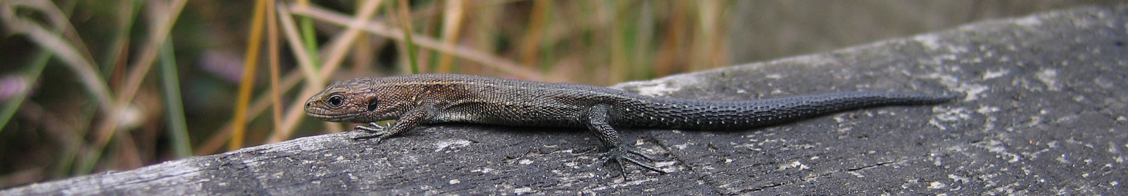 common lizard  2