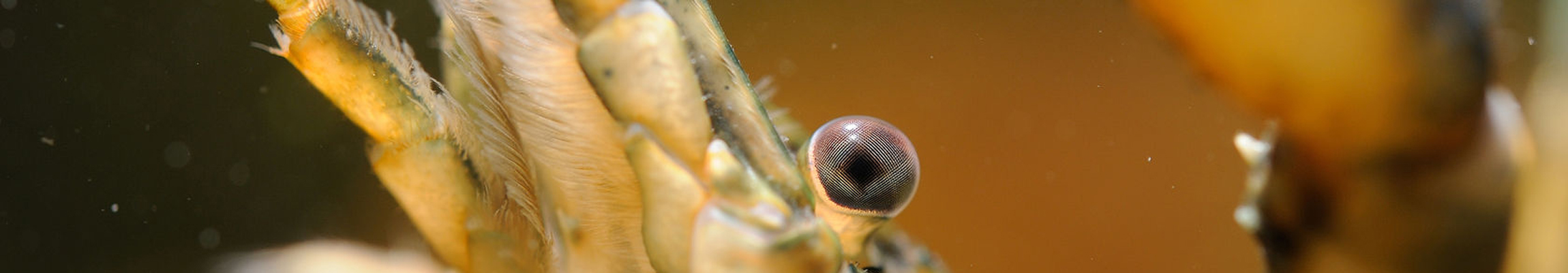 33398864 – head detail of crayfish with antenna and  legs
