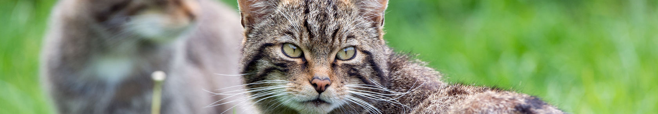 41372961 – scottish wildcat felis silvestris grampia